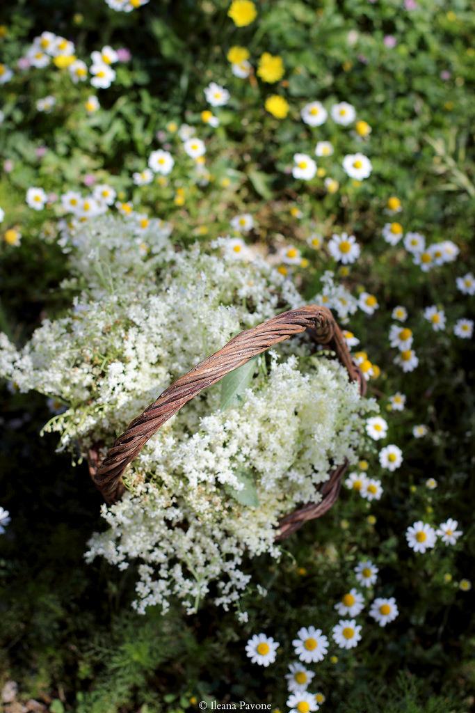Sambuco, fiori