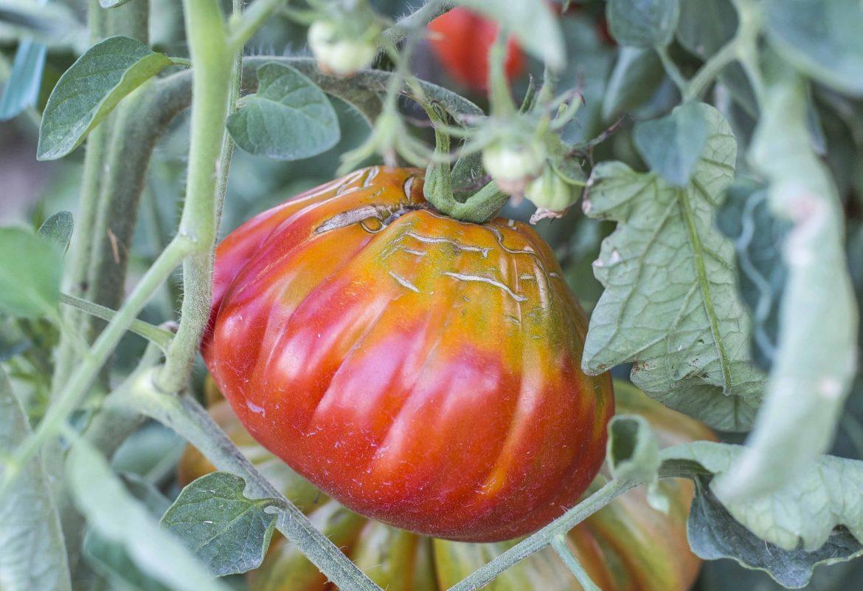 La conserva di pomodoro in Abruzzo: una tradizione da preservare.