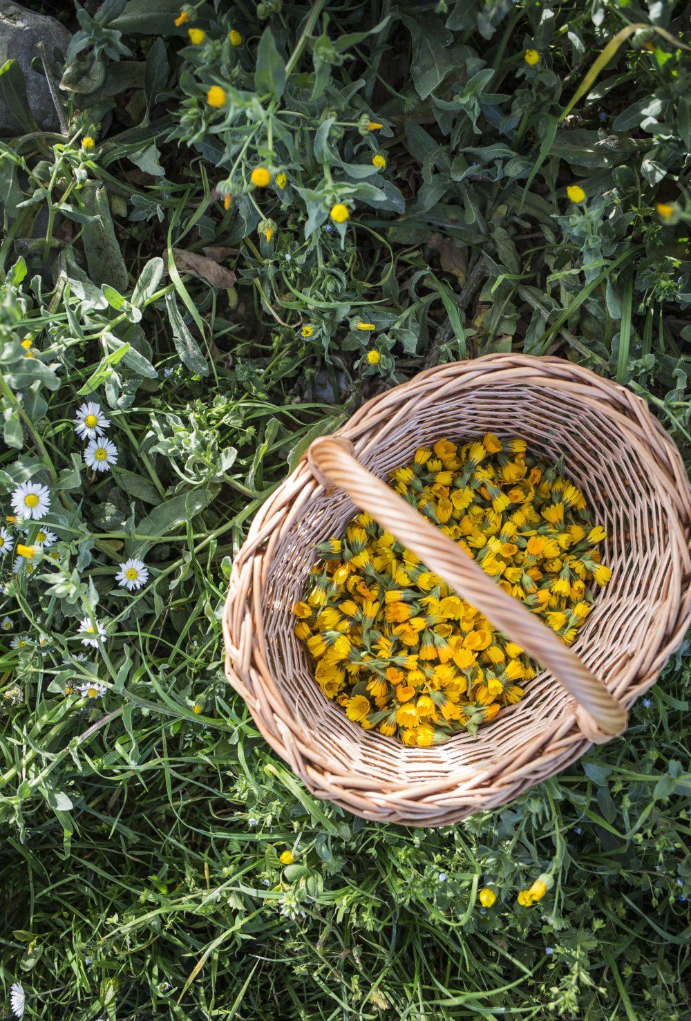 La calendula: un fiore spontaneo e le sue proprietà